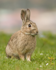 European Rabbit Texas Invasive Species Institute