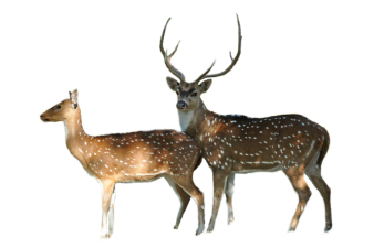 Axis deer: Texas Invasive Species Institute