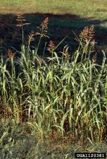Johnsongr Texas Invasive Species Insute