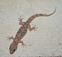 Mediterranean House Gecko Texas Invasive Species Institute