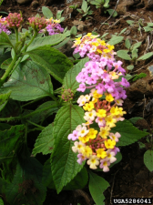 Lantana Texas Invasive Species Institute