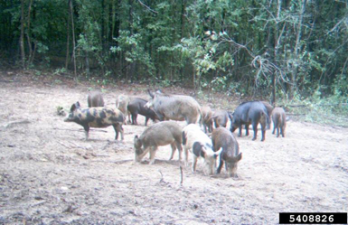 Feral Pig: Texas Invasive Species Institute